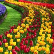 tulipani di campo