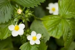 fiore fragola