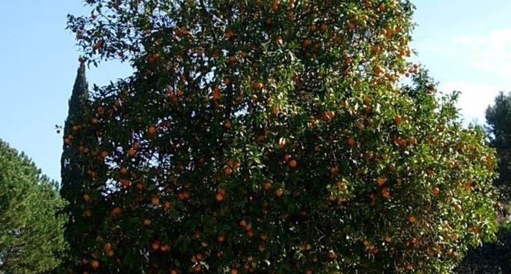 Esemplari di alberi di arancio