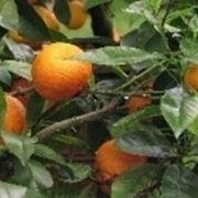 arancio albero