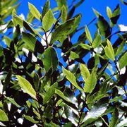Foglie pianta chinotto