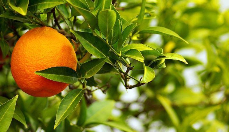 Frutto albero chinotto