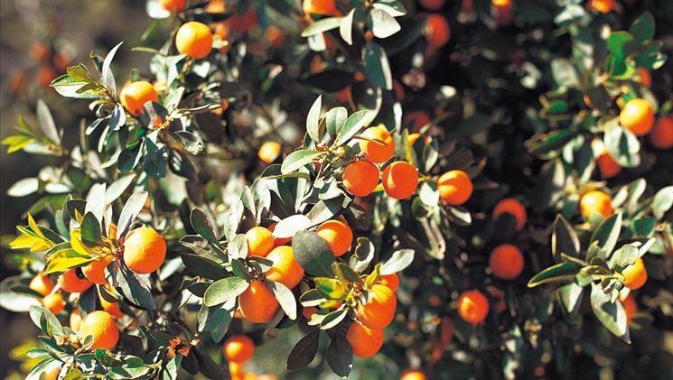 Albero agrumi