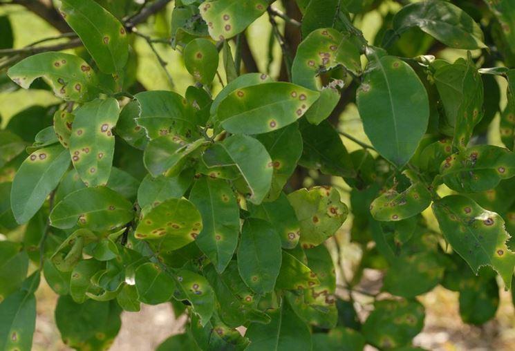 Foglie albero agrume mal secco