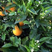 frutto chinotto