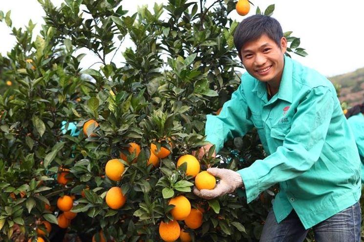 Coltivatore di arance