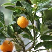 Mandarino cinese fruttificazione