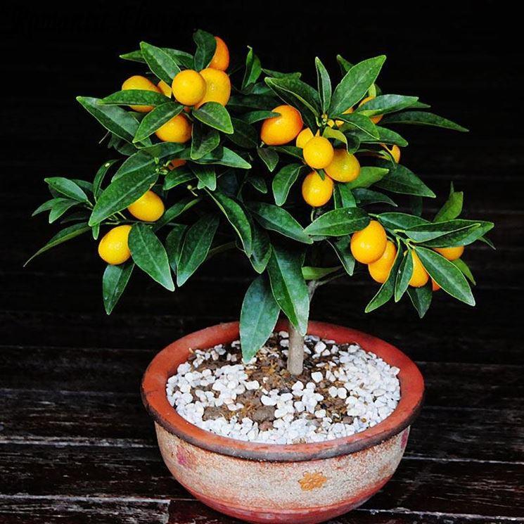 Mandarini cinesi agrumi coltivazione agrumi asiatici - Compost casalingo ...