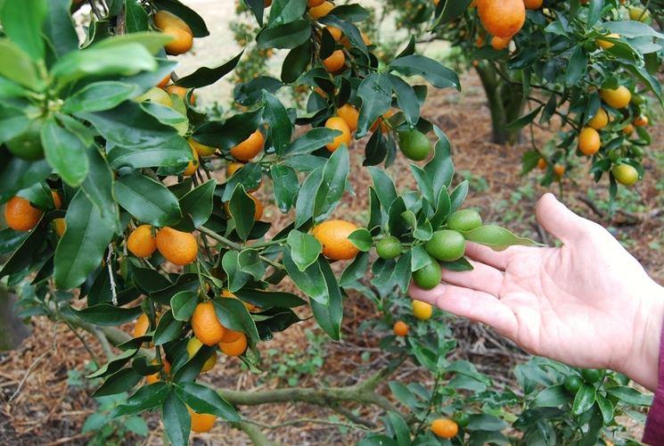 Mandarini cinesi pianta