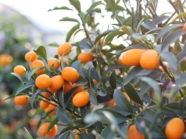 Coltivazione kumquat frutto