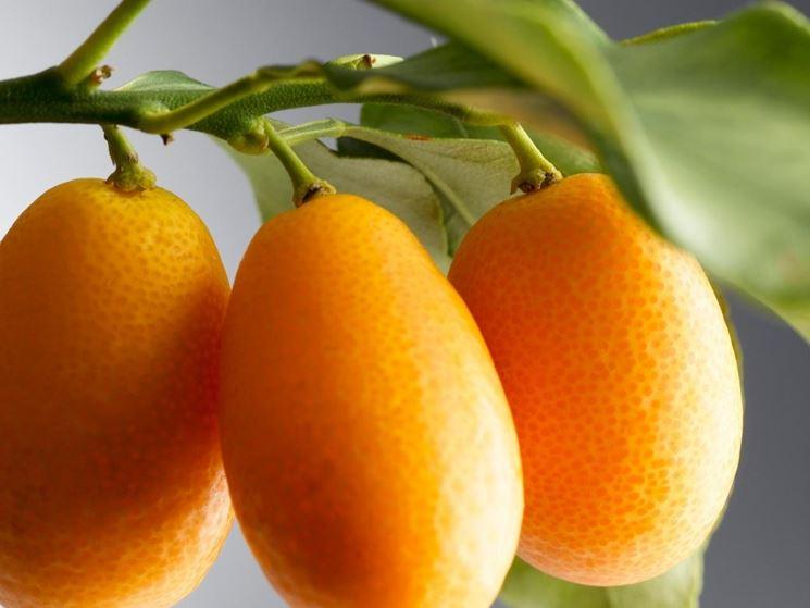 Piantina mandarino asiatico