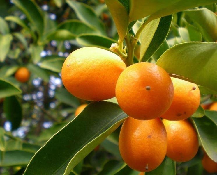 Mandarini cinesi raccolto