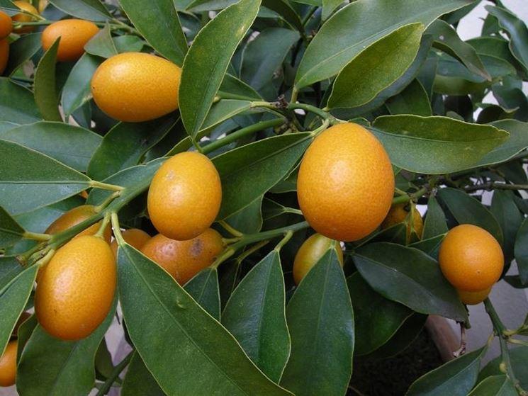 Una rigogliosa pianta di mandarino