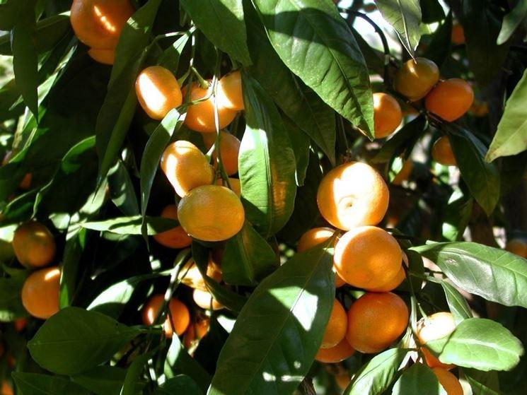 Frutti di mandarino su una pianta