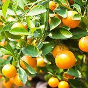 mandarino frutto