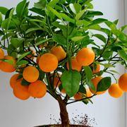 Albero di arancio con frutti