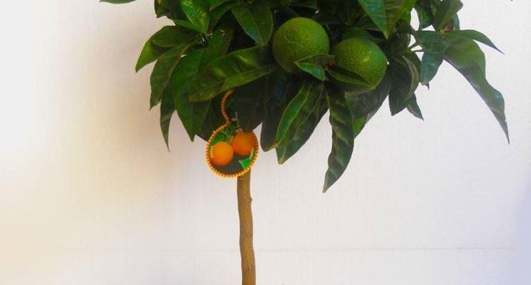 Periodo potatura arancio in vaso