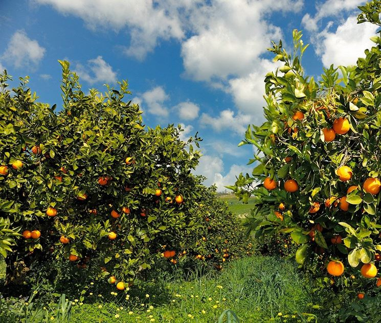 Giardino di arancio pronto alla raccolta