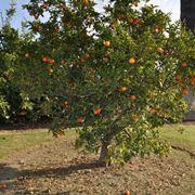 potatura arancio
