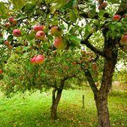 Albero da frutto