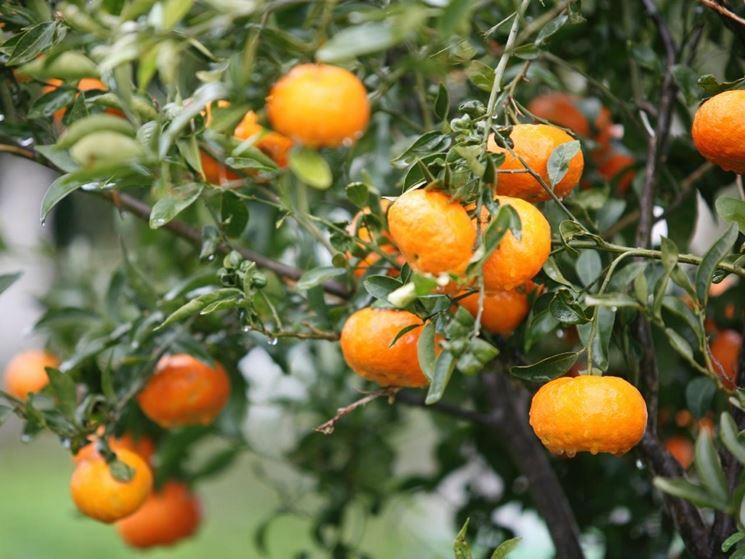 Pianta mandarino