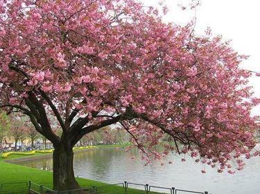 particolare di un albero di ciliegio
