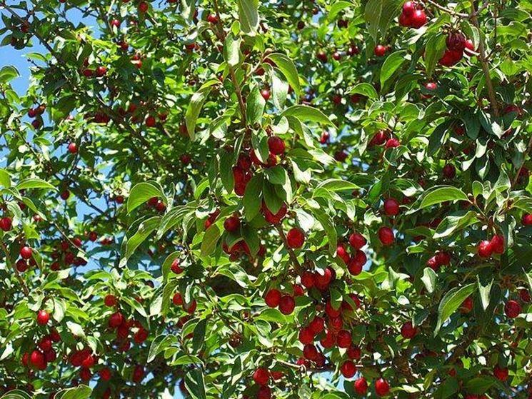 albero di ciliegio carico di frutti da raccogliere