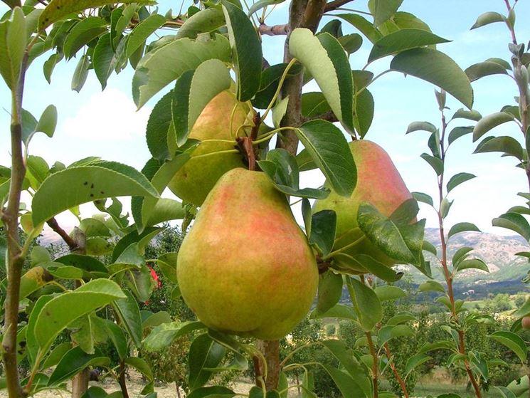 frutta, pera