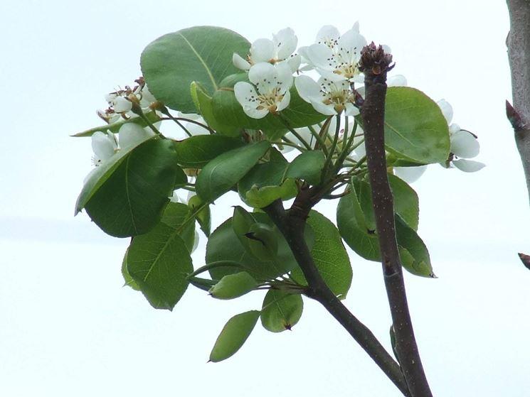 fiori albero di pero