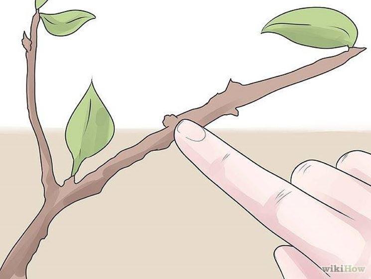 Potatura albero di pero