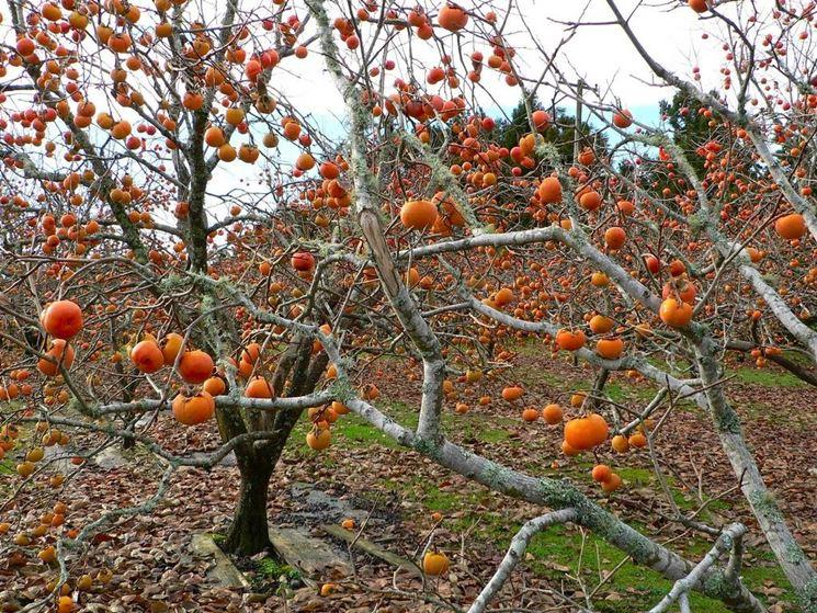Immagine dei cachi sull'albero