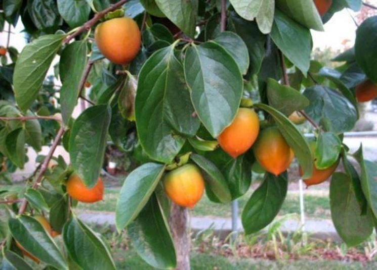 Particolare di un frutto raccolto