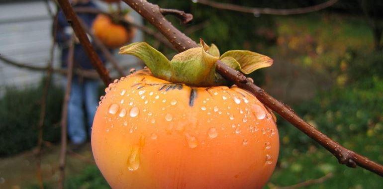 <h6>Albero di cachi</h6>Se amiamo i suoi frutti, l�albero di cachi pu� essere un ottimo acquisto per abbellire, ombreggiare il nostro giardino e assaporare i suoi deliziosi frutti. Perch� non lo scegli anche tu?