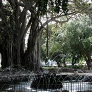 Il ficus del Giardino Garibaldi