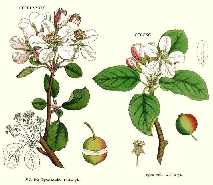 Disegno botanico di fiore di melo selvatico e di fiore di melo domestico