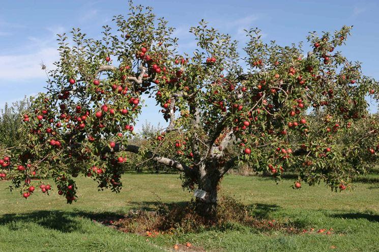 Albero di mele carico dei suoi frutti