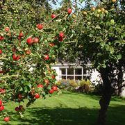 Alberi carichi di mele