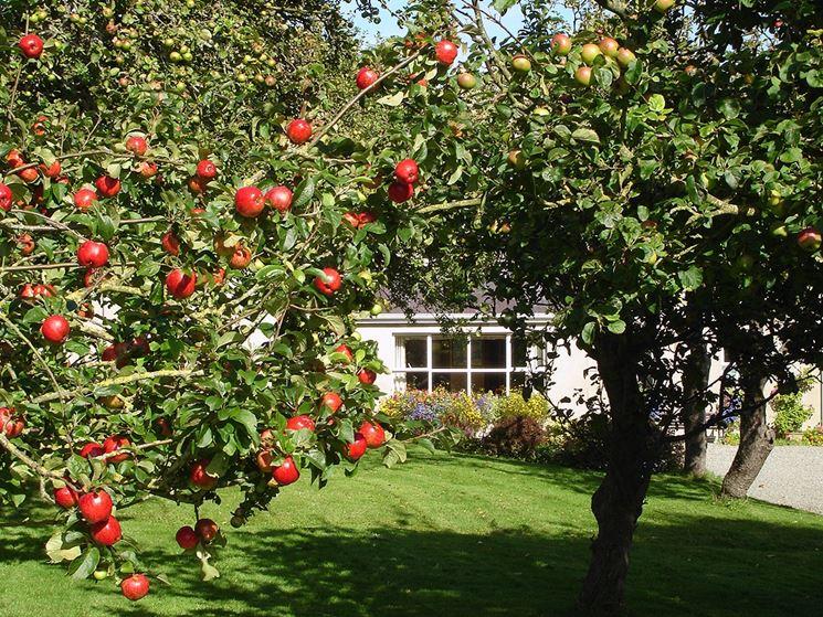 Albero di melo alberi da frutta albero di melo - Alberi da frutta in giardino ...