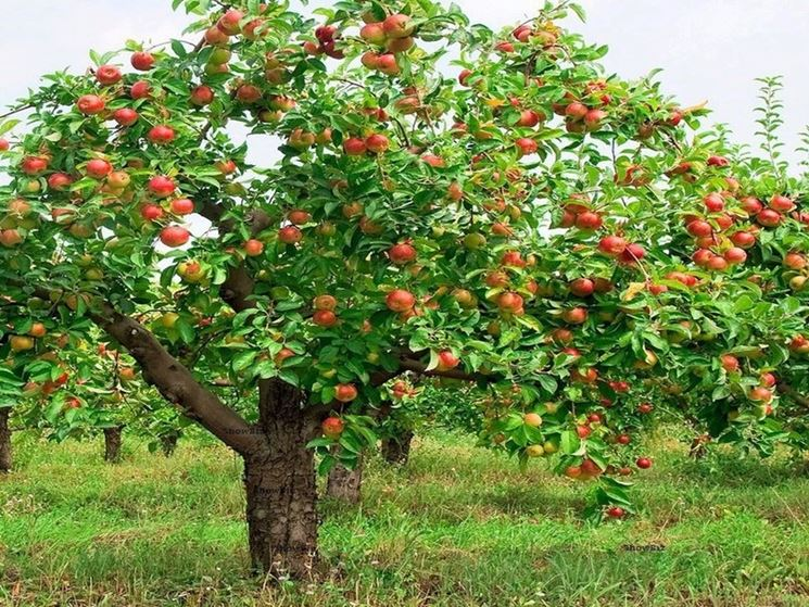 Albero delle mele