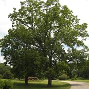 Esemplare di albero di noci