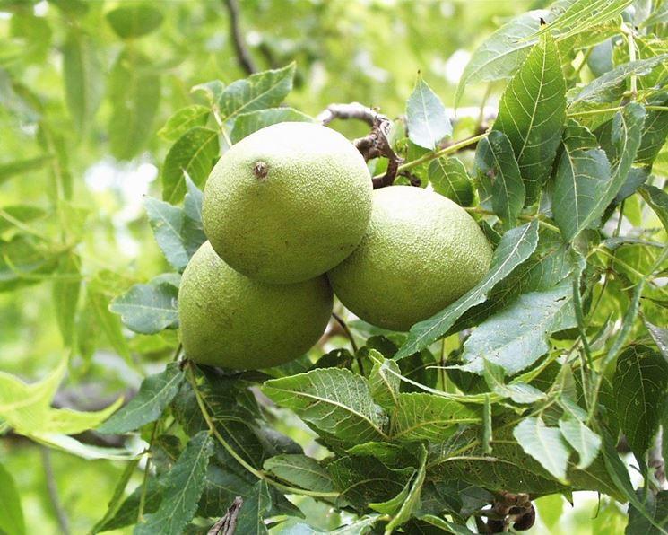 Particolare dei frutti sull'albero di noci