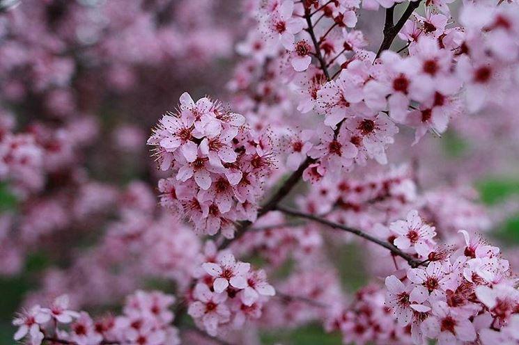 Albero di prugne fiorito