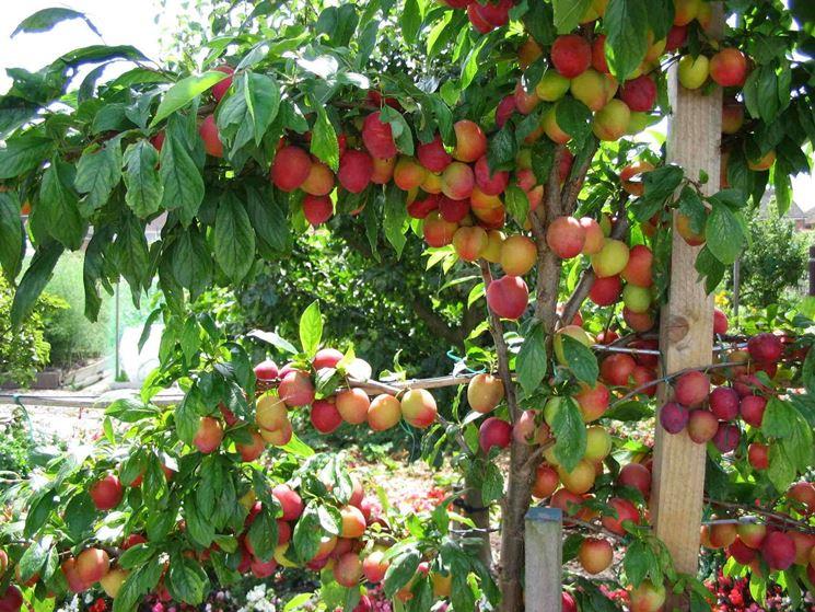 Piante Di Prugne : Albero di prugne alberi da frutta