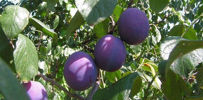 <h6>Albero di prugne</h6>Se amate il sapore e l�aspetto corposo delle prugne, provate a coltivare un albero di prugne nel vostro giardino! Avrete la possibilit� di gustarvi i frutti direttamente da casa!