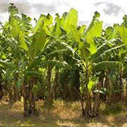 Coltivazione banani