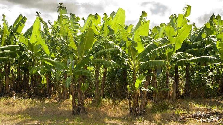 Banano alberi da frutta coltivazione banane - Pianta banano ...