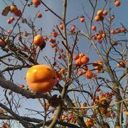 Albero cachi mela