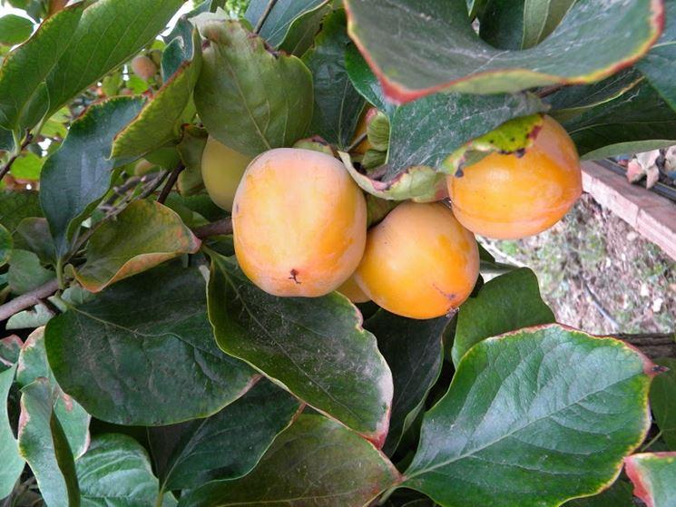 Cachi mela alberi da frutta coltivare cachi mela for Pianta nocciolo prezzo
