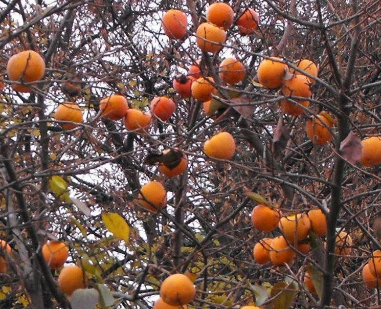Gli alberi da frutto del cachi vaniglia d'inverno