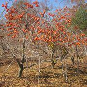 Pianta frutto cachi